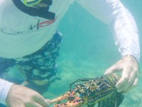 Cray Fish are plentiful on the reef, and with the Bloomfield Lodge guides expert assistance, everyone gets to enjoy!